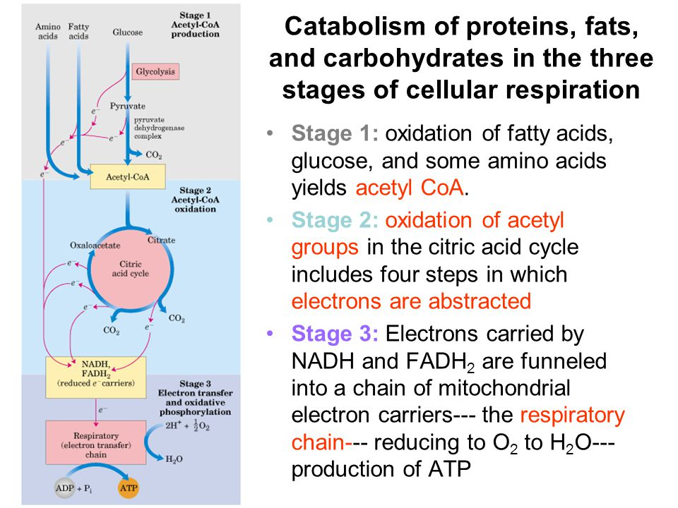 Catabolism of proteins, fats, and carbohydrates in the three stages of cellular respiration