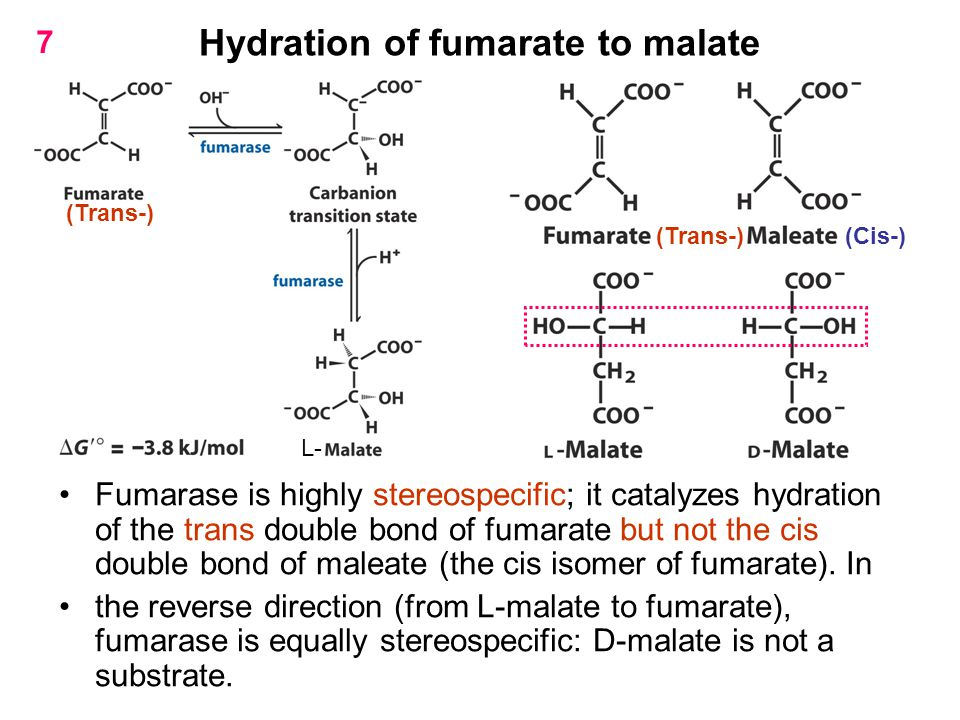 Hydration of fumarate to malate