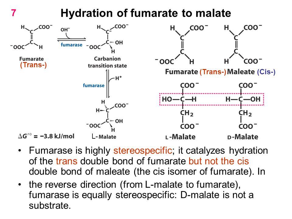 Hydration of fumarate to malate