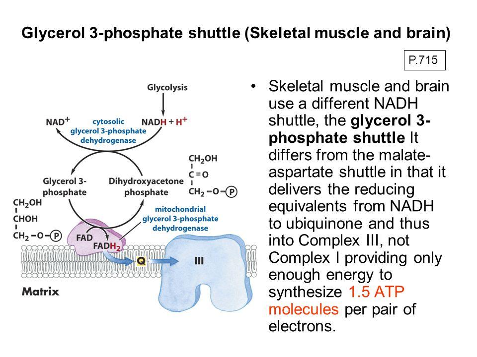 Glycerol 3-phosphate shuttle (Skeletal muscle and brain)