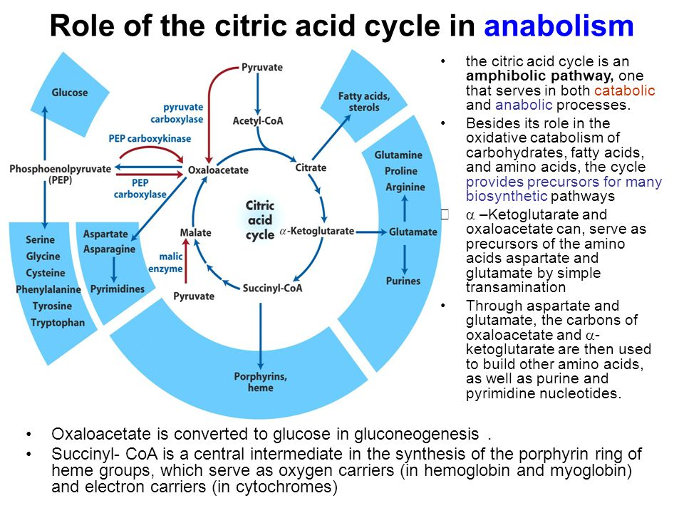 Role of the citric acid cycle in anabolism