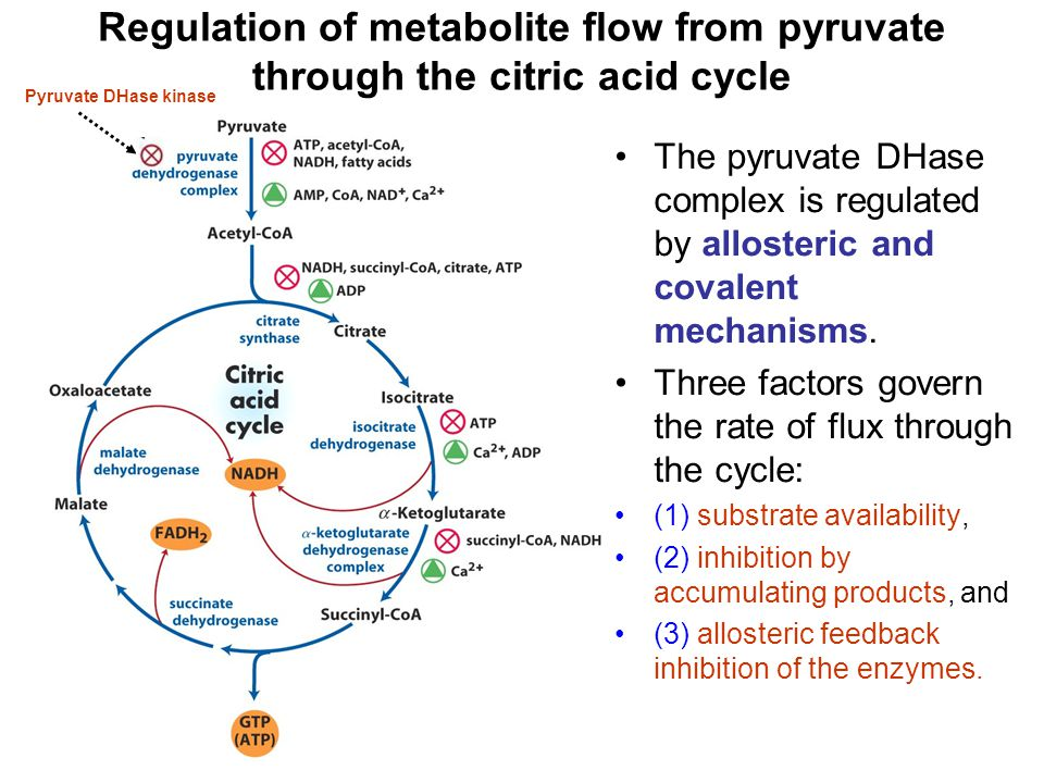Regulation of metabolite flow from pyruvate through the citric acid cycle