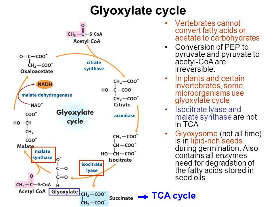 Glyoxylate cycle TCA cycle