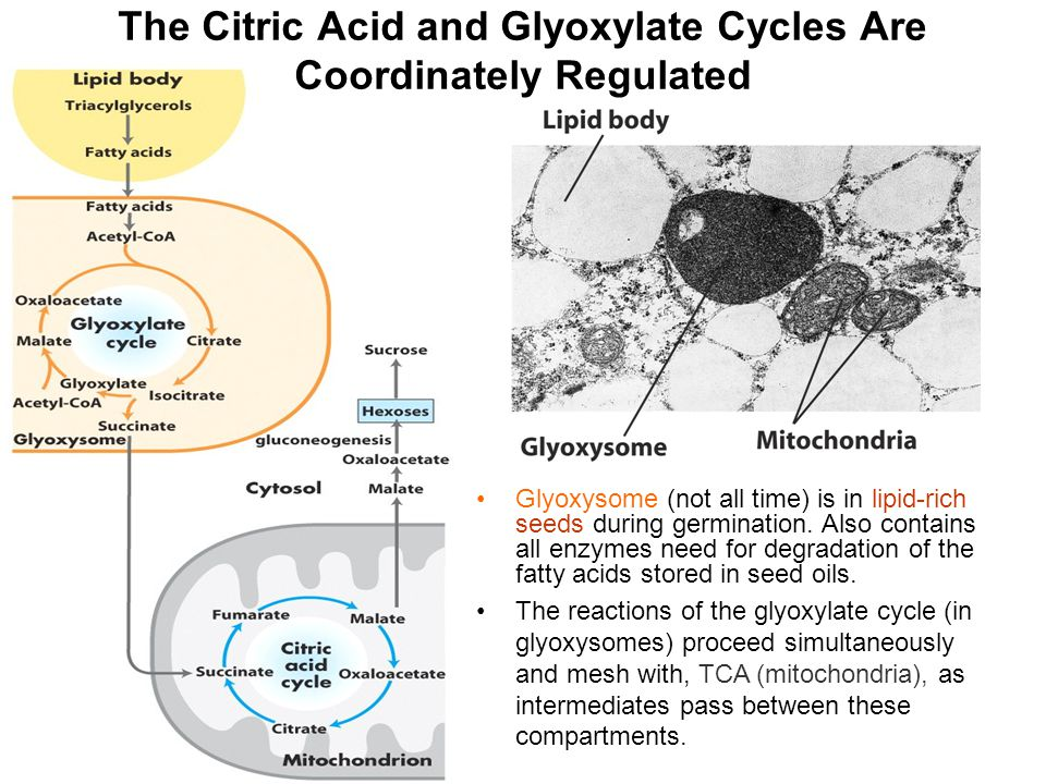 The Citric Acid and Glyoxylate Cycles Are Coordinately Regulated