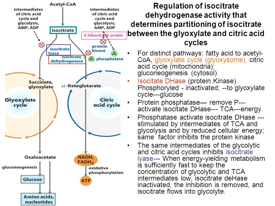 Regulation of isocitrate dehydrogenase activity that determines partitioning of isocitrate between the glyoxylate and citric acid cycles