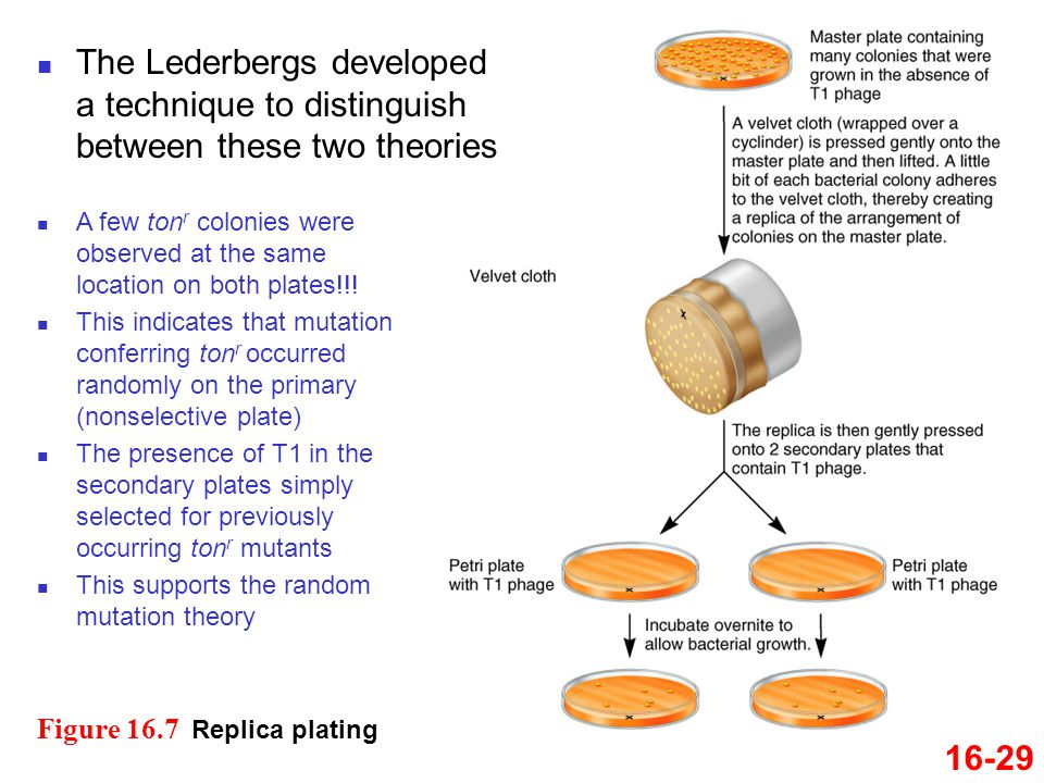 The Lederbergs developed a technique to distinguish between these two theories