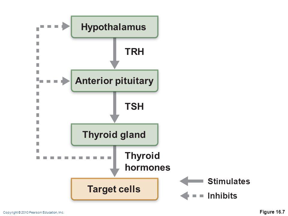 Hypothalamus TRH Anterior pituitary TSH Thyroid gland Thyroid hormones