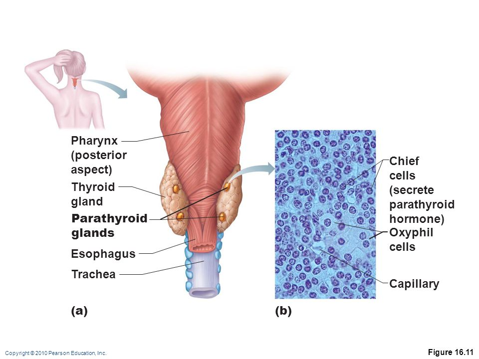 Pharynx (posterior aspect) Chief cells (secrete parathyroid hormone)