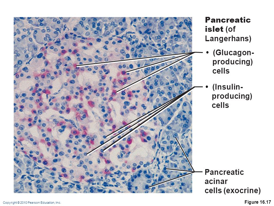 Pancreatic islet (of Langerhans) • (Glucagon- producing) cells