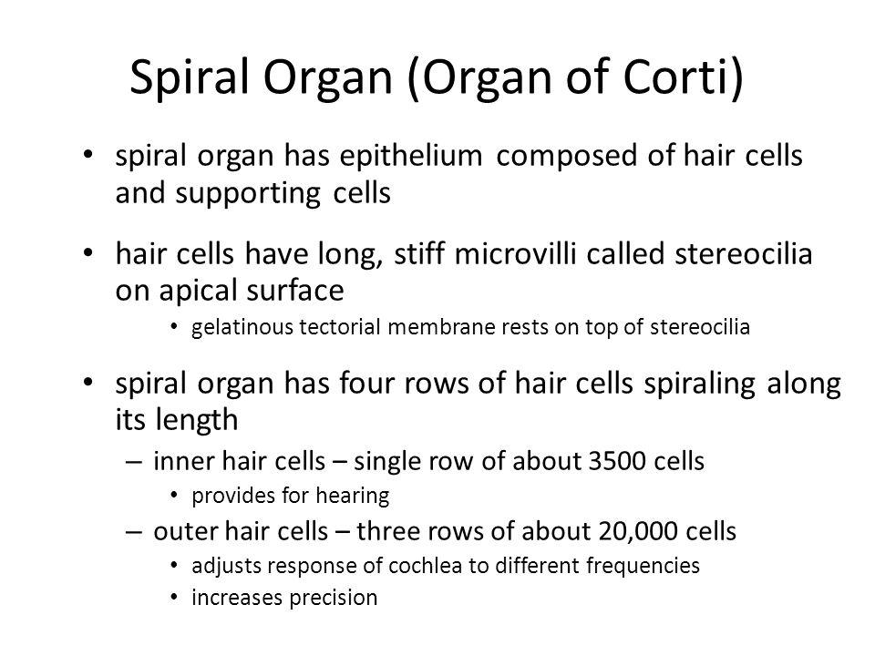 Spiral Organ (Organ of Corti)