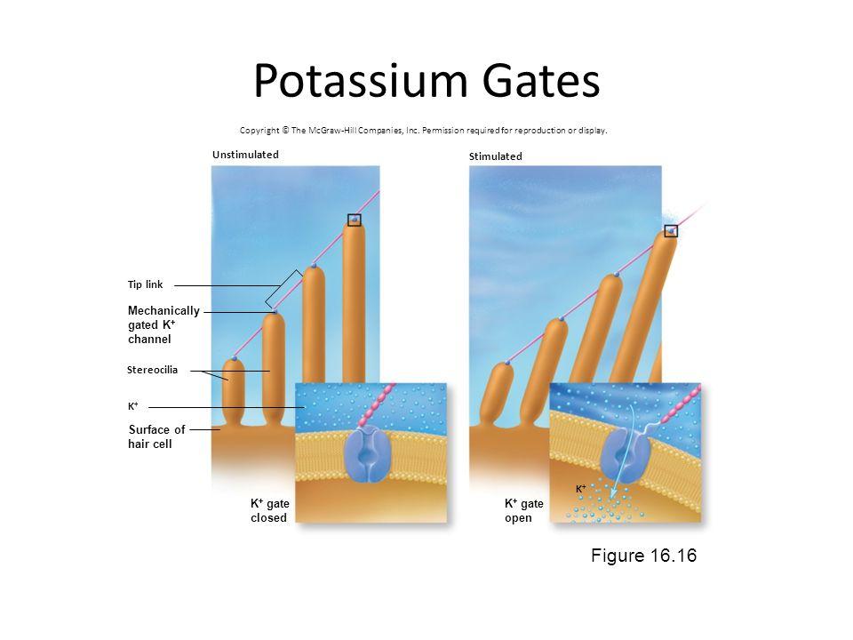 Potassium Gates Figure 16.16 Unstimulated Stimulated Tip link
