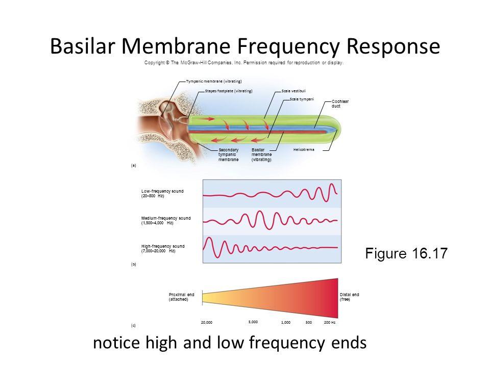 Basilar Membrane Frequency Response