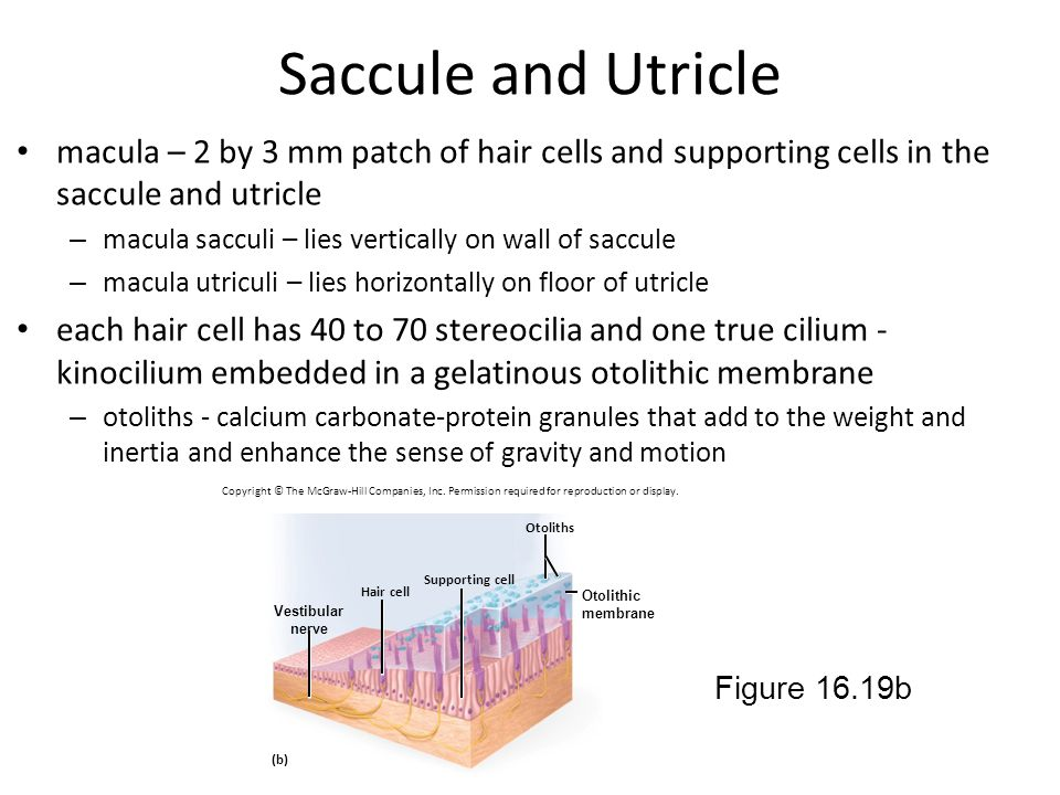 Saccule and Utricle macula – 2 by 3 mm patch of hair cells and supporting cells in the saccule and utricle.