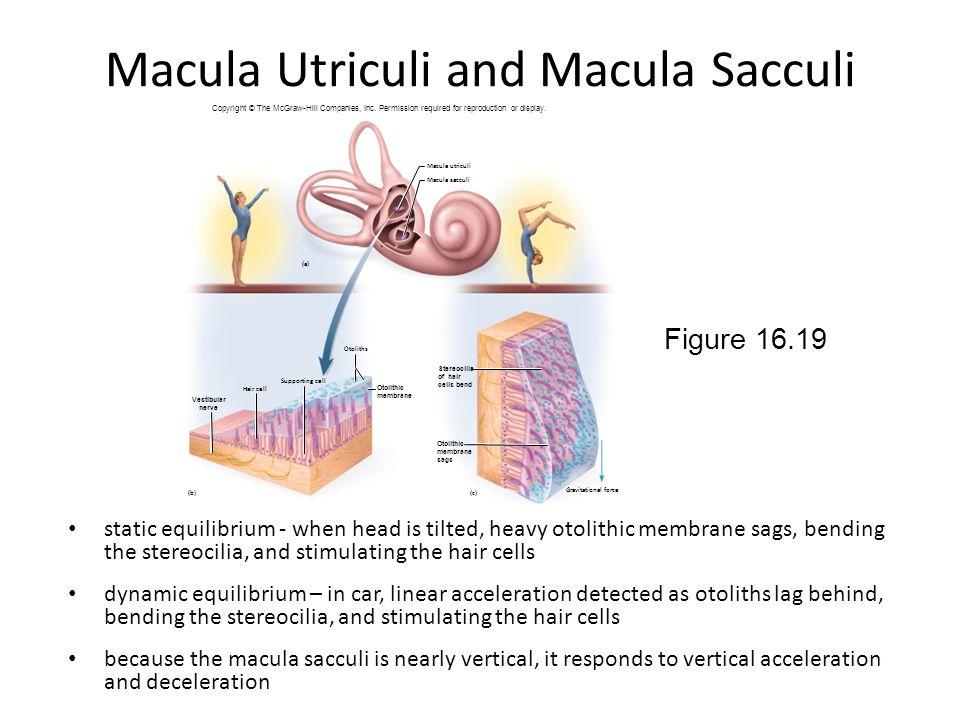 Macula Utriculi and Macula Sacculi