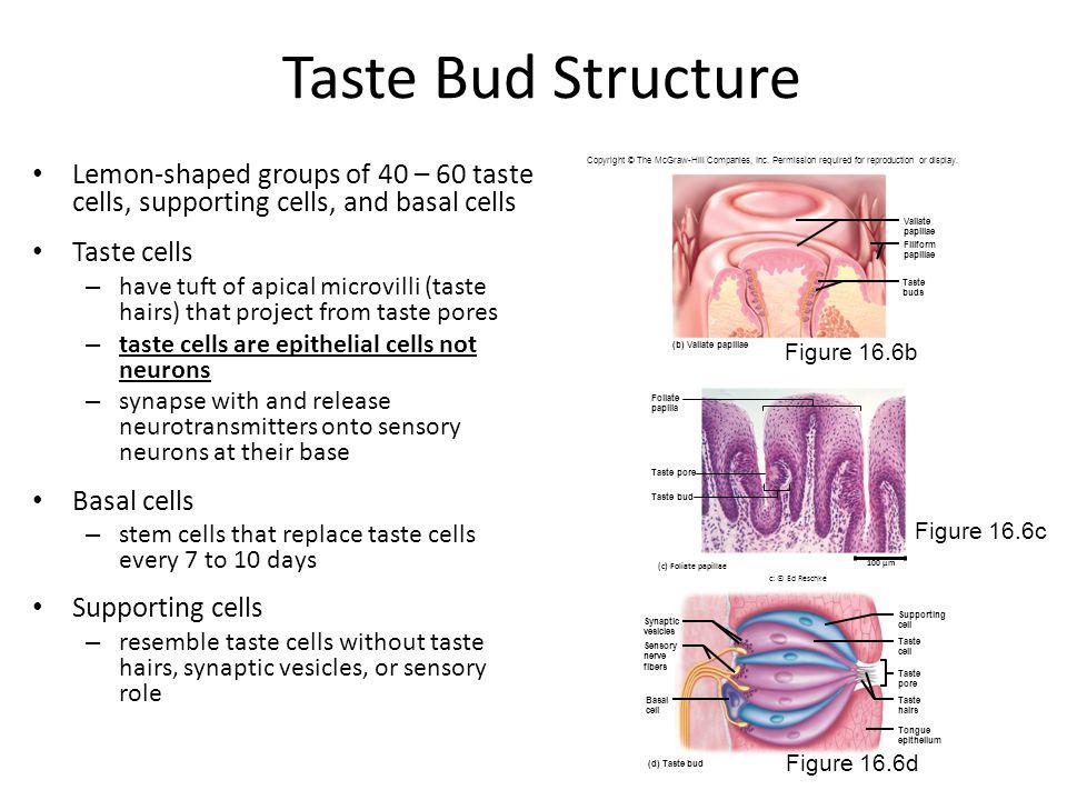 Taste Bud Structure Lemon-shaped groups of 40 – 60 taste cells, supporting cells, and basal cells. Taste cells.