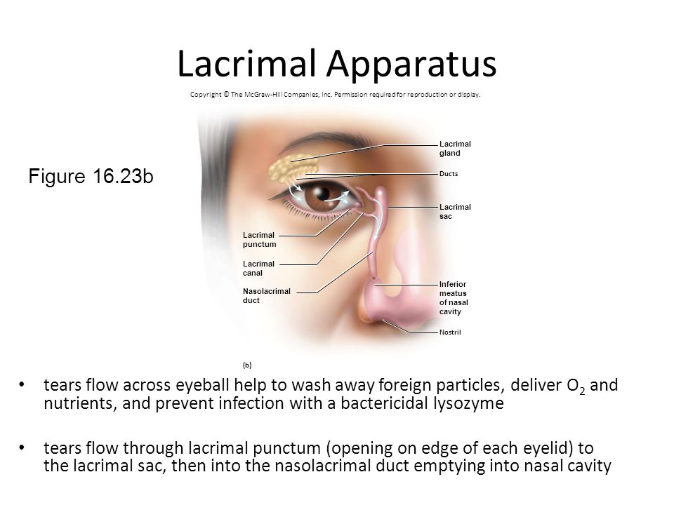 Lacrimal Apparatus Figure 16.23b