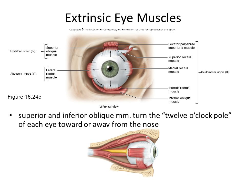 Extrinsic Eye Muscles Copyright © The McGraw-Hill Companies, Inc. Permission required for reproduction or display.