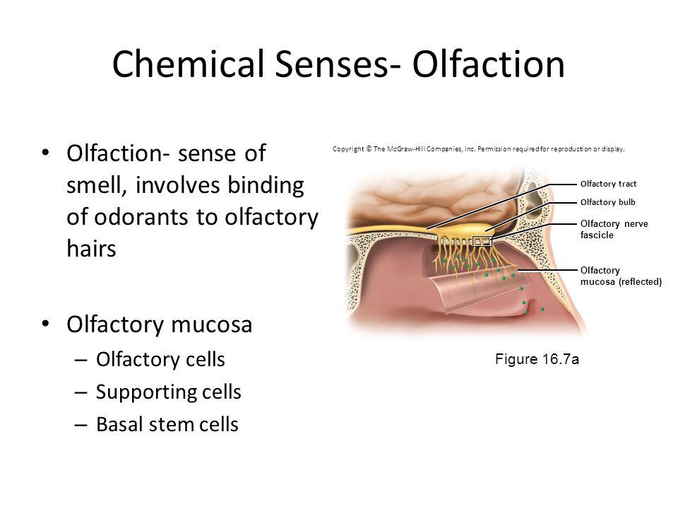 Chemical Senses- Olfaction