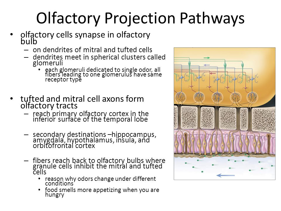 Olfactory Projection Pathways