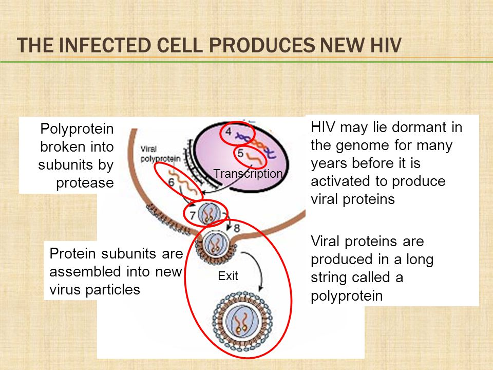 The Infected Cell Produces New HIV