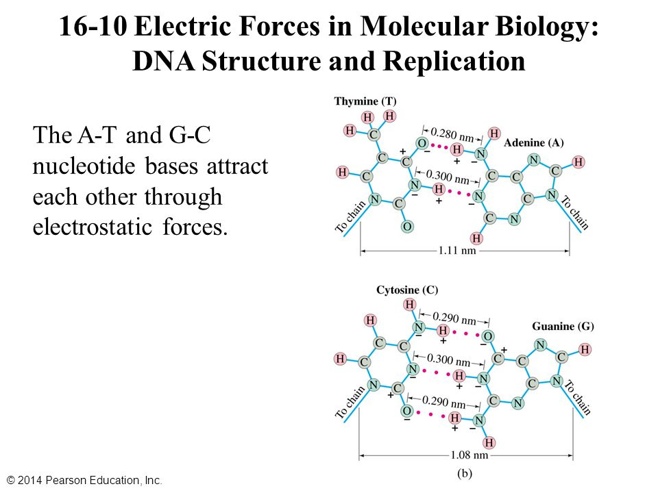 16-10 Electric Forces in Molecular Biology: DNA Structure and Replication