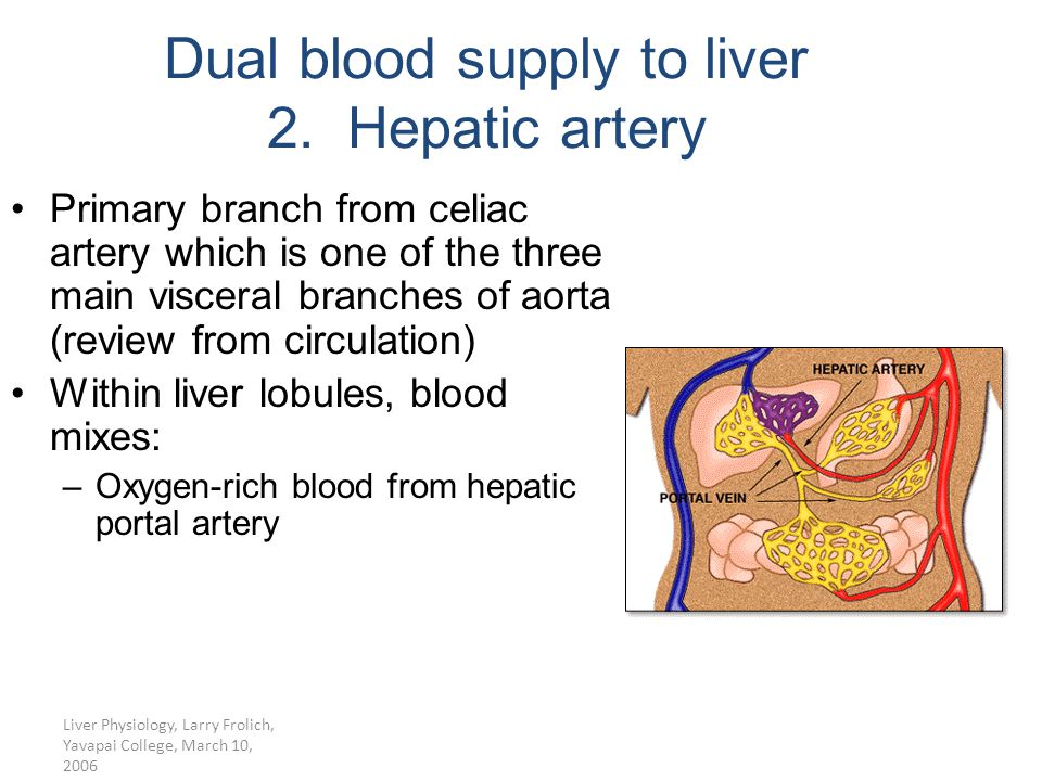 Dual blood supply to liver 2. Hepatic artery