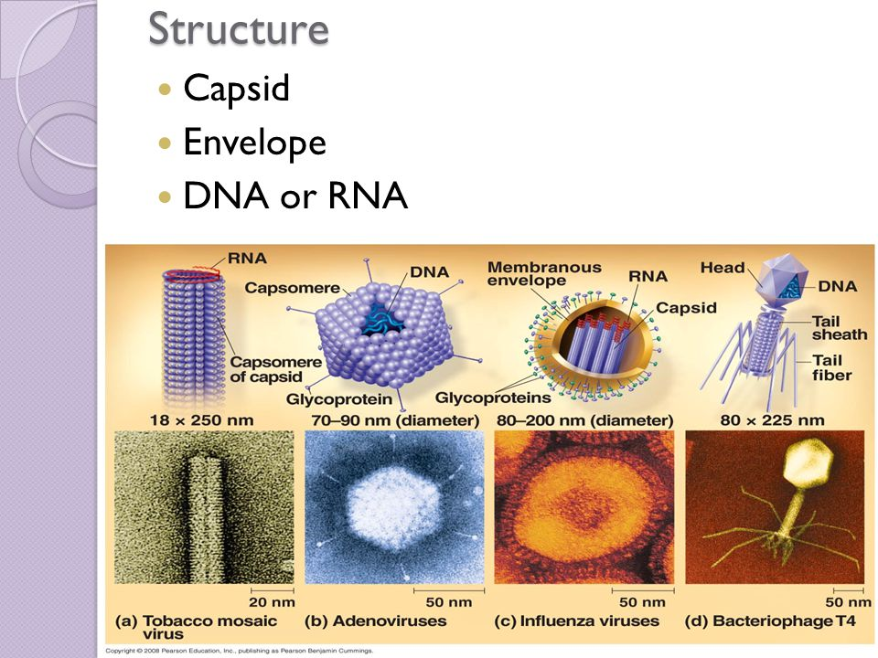 Structure Capsid Envelope DNA or RNA