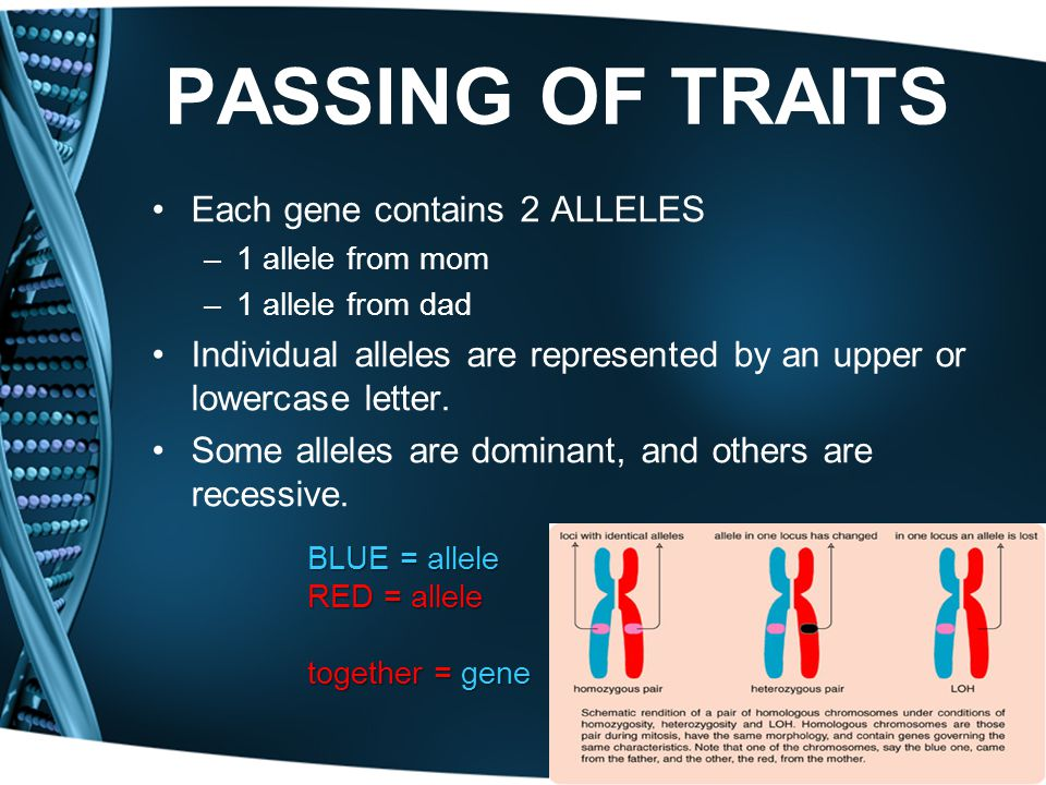 PASSING OF TRAITS Each gene contains 2 ALLELES