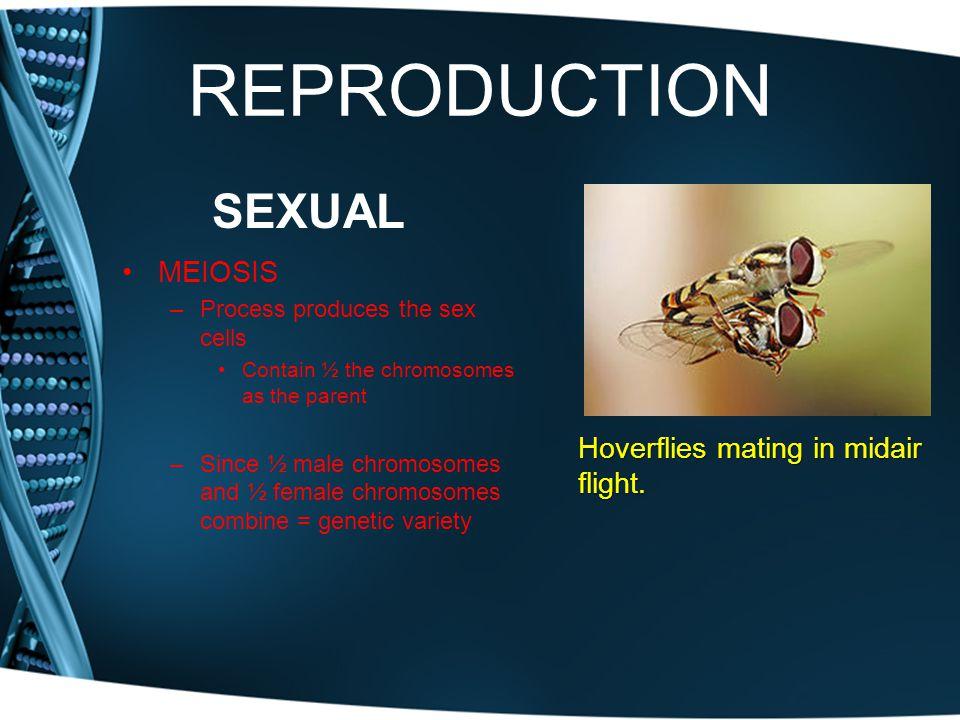 REPRODUCTION SEXUAL MEIOSIS Hoverflies mating in midair flight.