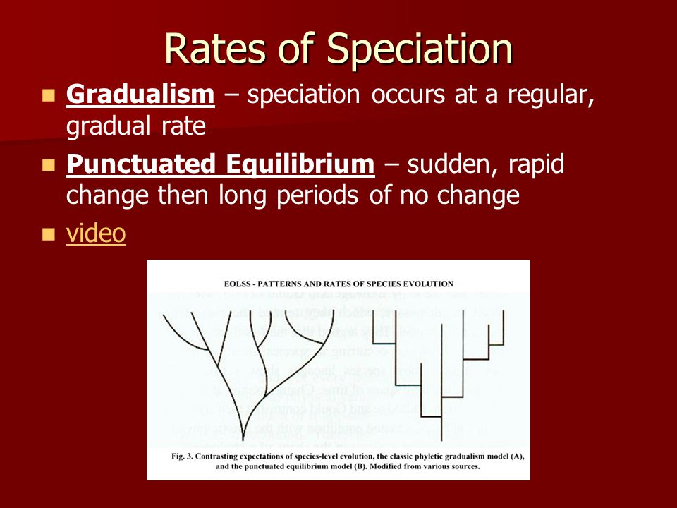 Rates of Speciation Gradualism – speciation occurs at a regular, gradual rate.