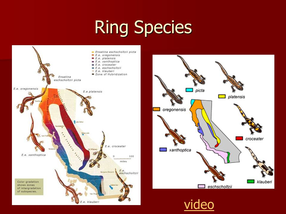 Ring Species video
