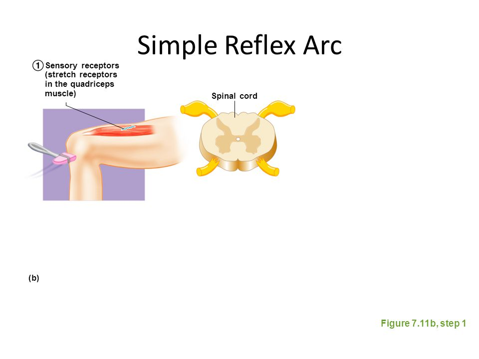 Simple Reflex Arc Figure 7.11b, step 1