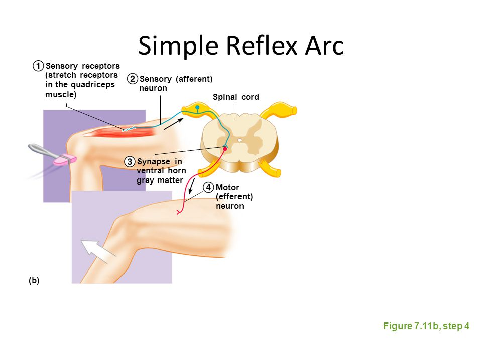 Simple Reflex Arc Figure 7.11b, step 4