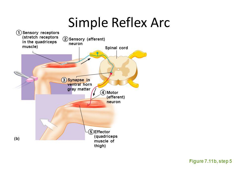 Simple Reflex Arc Figure 7.11b, step 5