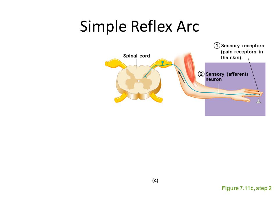 Simple Reflex Arc Figure 7.11c, step 2