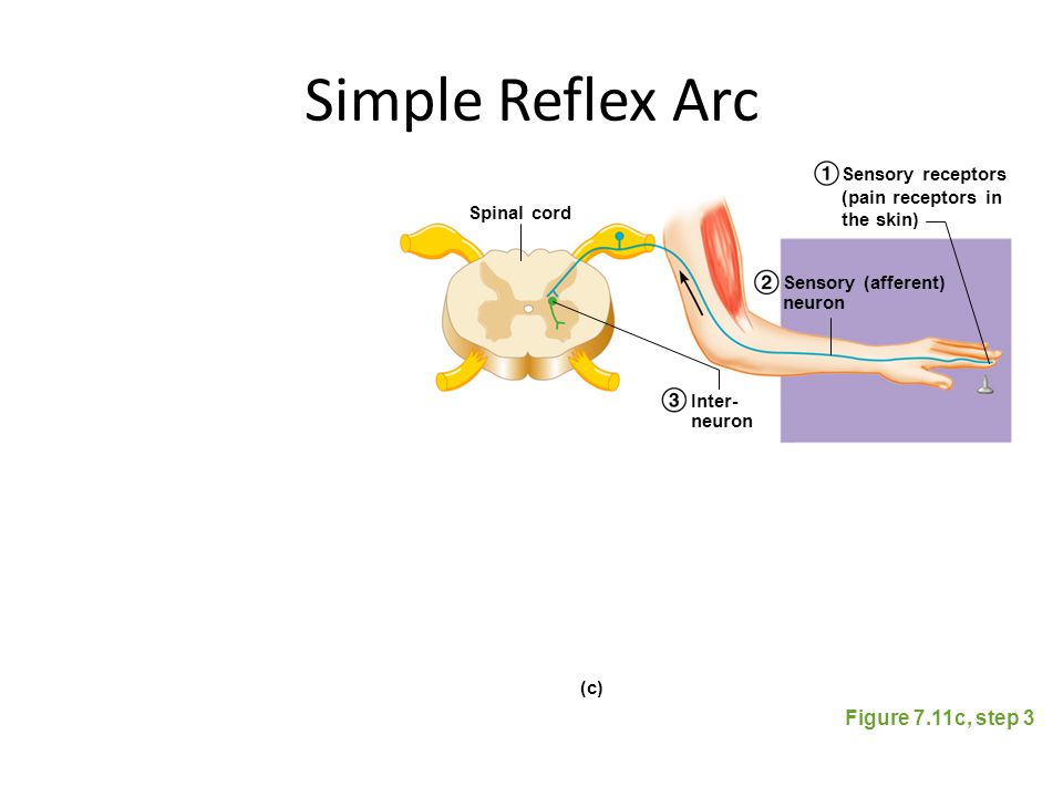 Simple Reflex Arc Figure 7.11c, step 3