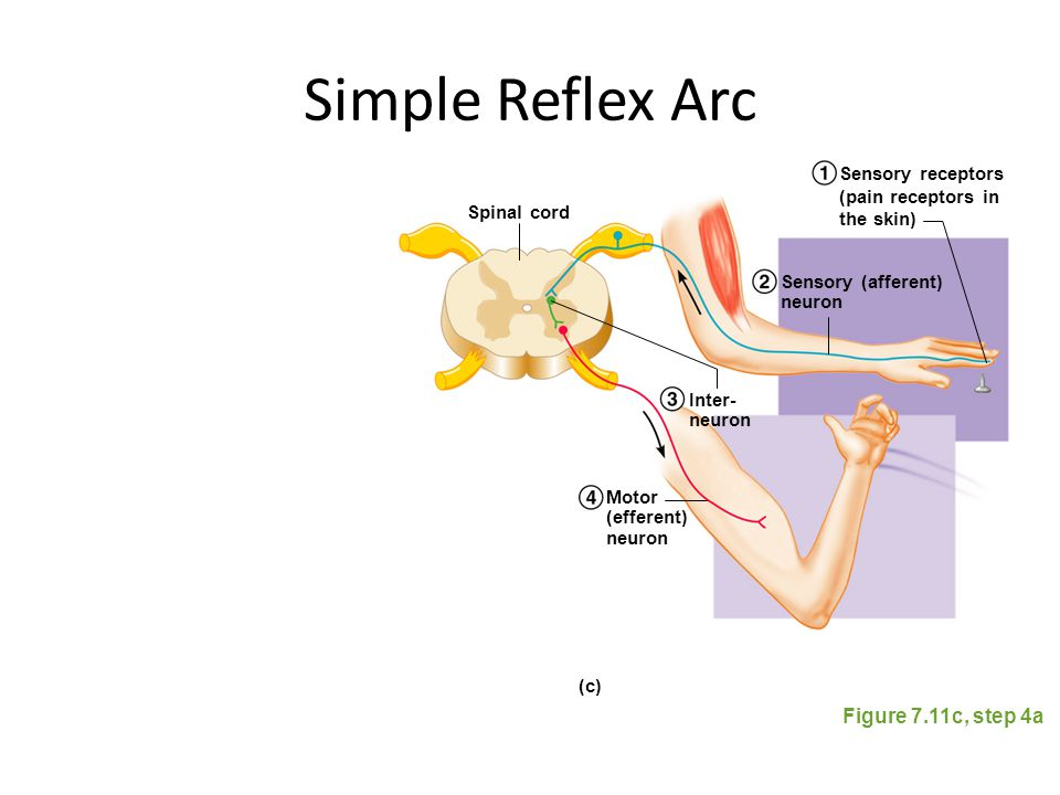Simple Reflex Arc Figure 7.11c, step 4a