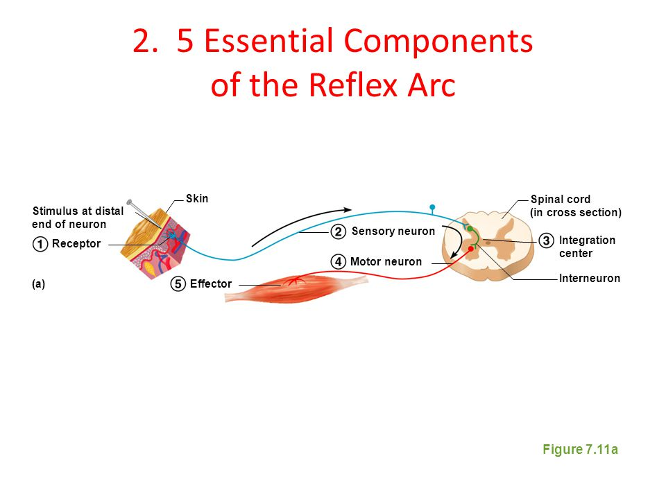 2. 5 Essential Components of the Reflex Arc