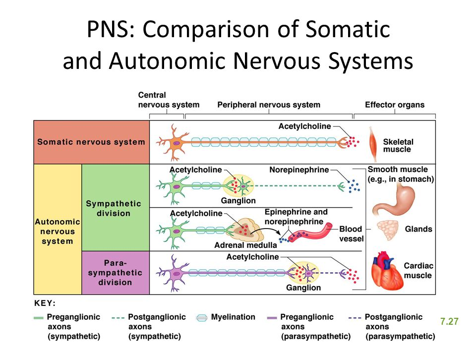 PNS: Comparison of Somatic and Autonomic Nervous Systems