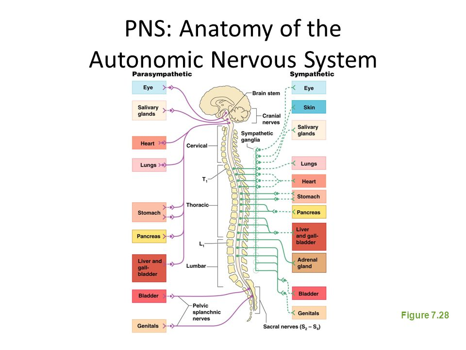 PNS: Anatomy of the Autonomic Nervous System