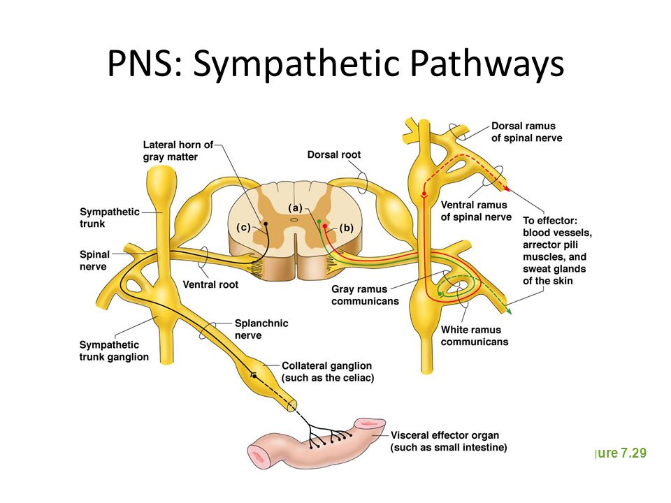 PNS: Sympathetic Pathways
