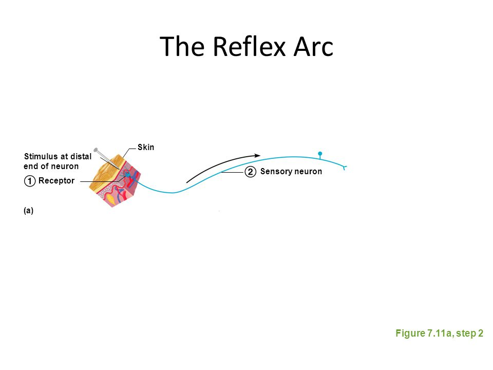 The Reflex Arc Figure 7.11a, step 2 Skin