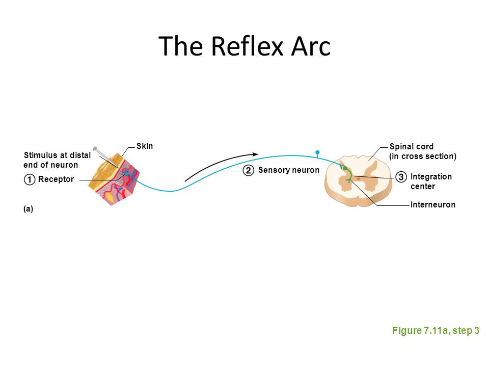 The Reflex Arc Figure 7.11a, step 3 Skin Spinal cord