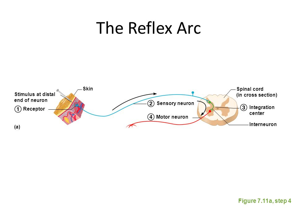 The Reflex Arc Figure 7.11a, step 4 Skin Spinal cord