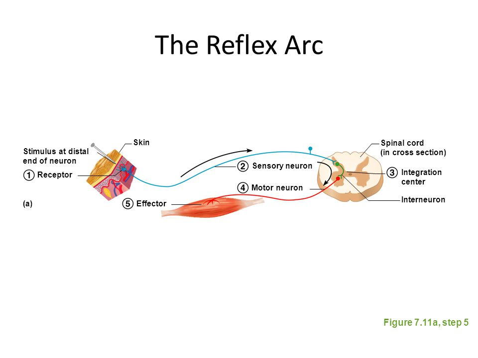 The Reflex Arc Figure 7.11a, step 5 Stimulus at distal end of neuron