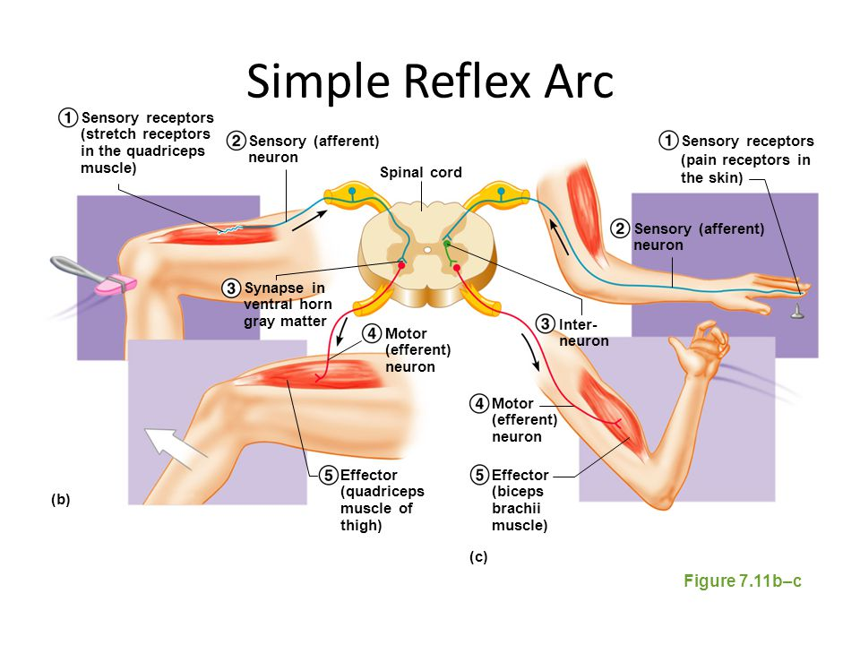 Simple Reflex Arc Figure 7.11b–c