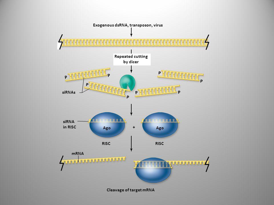 Exogenous dsRNA, transposon, virus