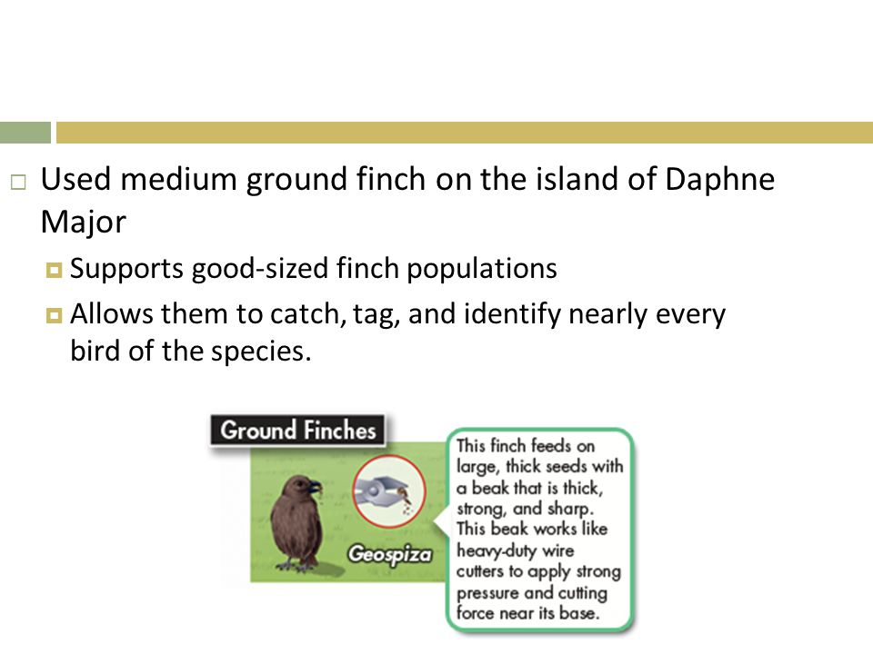 Used medium ground finch on the island of Daphne Major