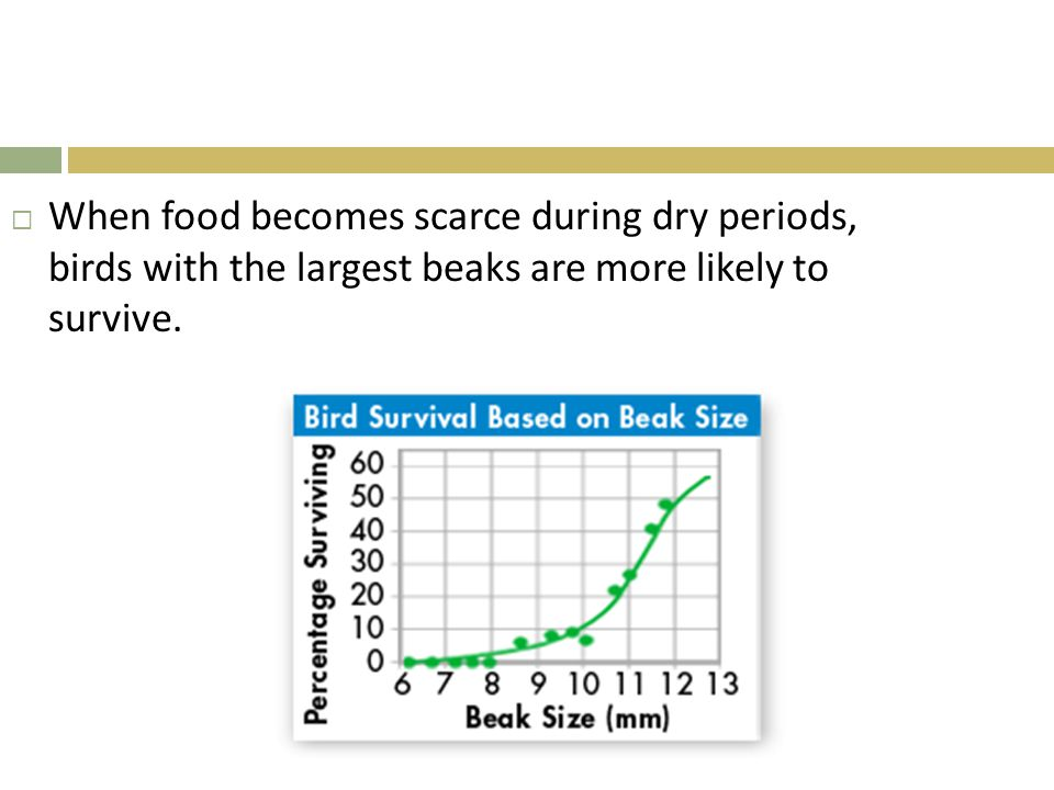 When food becomes scarce during dry periods, birds with the largest beaks are more likely to survive.