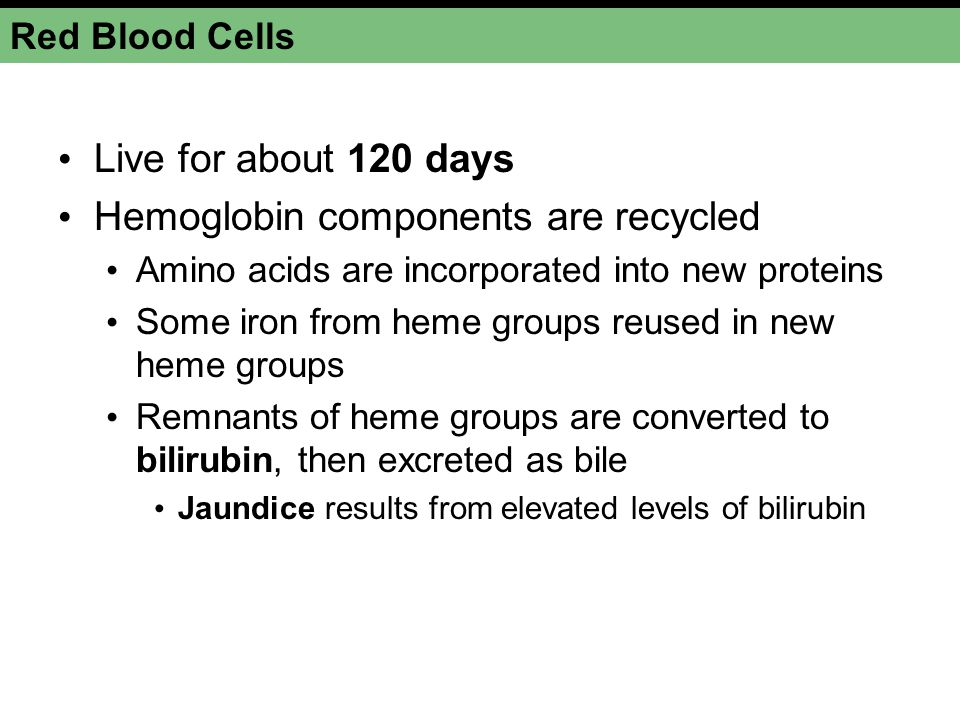 Hemoglobin components are recycled